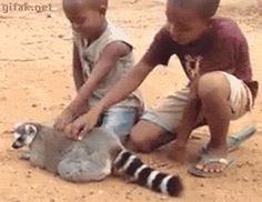 GIF -  lemur is signaling to the boys to not stop the back scratch!