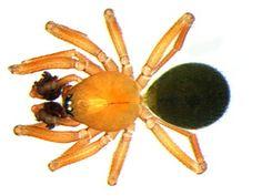 Centromerus serratus Serrated tongue spider Spiders, Insects, Spider