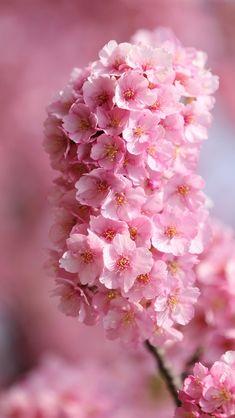 日本桜、小枝、ピンクの花 iPhone 5 (5S) (5C) (SE) の壁紙 - 640x1136