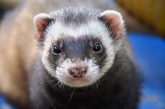 Can ferrets swim? The answer is yes. Ferrets can naturally swim and they quite like it. Learn where is the best place for your ferret to swim comfortably