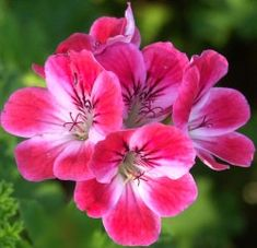 Scented Geranium Plant Apricot by rhaad5 on Etsy, $6.00