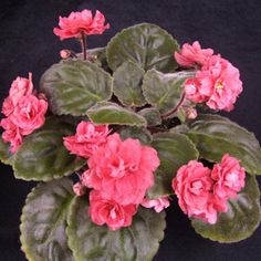Mandan Dandy - The Violet Barn - African Violets and More