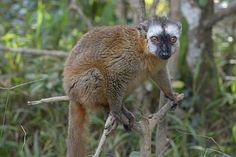 Red-fronted Brown Lemur (Eulemur fulvus rufus)