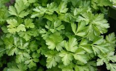 Herb Seeds, Garden Seeds, Small Backyard Gardens, Outdoor Gardens, Kew Gardens, Pollo Piccata, Parsley Plant, Best Herbs To Grow, Herb Garden Kit