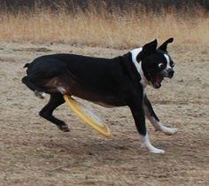 Fresbee dog fail. Este perro no volverá a jugar con el Frisbee