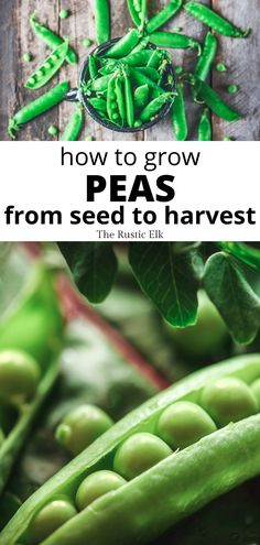 Growing peas from seed is easy and they are an excellent cool weather crop to put in your spring garden. Learn how to grow peas from seed all the way to harvest. Vegetable Garden For Beginners, Backyard Vegetable Gardens, Gardening For Beginners, Gardening Tips, Winter Vegetables, Growing Vegetables, Spring Garden, Winter Garden, Growing Peas