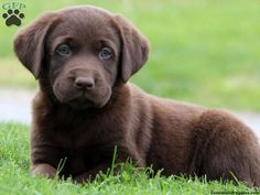 9 Best English Lab Puppies Images