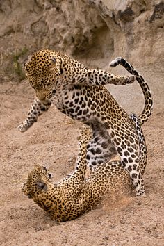 A pair of leopards playing!