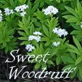 Sweet woodruff is an attractive groundcover for moist, shady spots, producing tiny white flowers in the spring. This European plant was used as an herbal remedy for a variety of ailments, and the dried leaves and flowers smell like freshly mown hay. If you want to learn more about this herbaceous perennial, continue reading... Sweet Woodruff, Tiny White Flowers, Plant Identification, Herbaceous Perennials, Herbal Remedies, Continue Reading, Garden Plants, Wisconsin, Herbalism