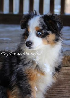 """KC MURPHY Toy Aussies Unleashed - Pups expected in AprilSee below for some great new Past Pup Pics!!!      You cannot have happy, healthy puppies unless you start with happy, healthy dogsALL OF THE BABIES BORN HERE ARE CLEAR FROM BEING AFFECTED FROM THE ENTIRE PANEL OF GENETIC DISEASES THAT CAN AFFECT AUSSIES. THIS IS NOT """"JUST A BREEDING THING"""" AS I HAVE HEARD PEOPLE SAY. THIS MEANS A HAPPY, HEALTHY LIFE AND HAPPY 2 LEGGED PUP PARENTS!!ALSO....."""