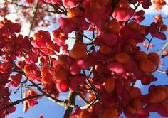 Colori di novembre ... 'Non amo il camminare finalizzato all'indubbio effetto salutare sull'organismo. Non lo nego, naturalmente, ma non riesco a comprenderlo fino in fondo. Diverso il caso se mi pongo un obiettivo: andare a raccogliere erbe spontanee, bacche, anche semplicemente qualche ramo ormai secco da disporre in un cesto ...' #novembre #fiori #bacche #passeggiare #camminare #natura #albero #rosaacceso #foto #bellezza