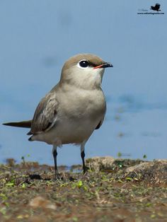 Small Pratincole, Indiaittle pratincole, or small Indian pratincole, is a small wader in the pratincole family, Glareolidae. The small pratincole is a resident breeder in India, Western Pakistan and southeast Asia.