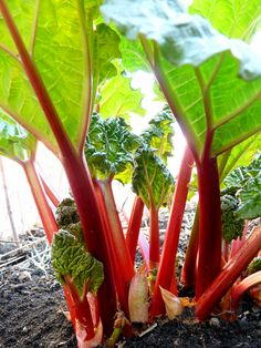 Rhubarb Rocks! Lot's of info on this hardy perennial.