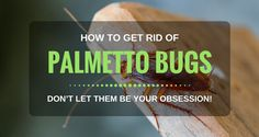 Your house has the appearance of palmetto bugs, but you don't have any pest control knowledge? This post will help you get rid of palmetto bugs naturally right now. Best Pest Control, Bug Control, Palmetto Bugs, Household Pests, Natural Pesticides, Bees And Wasps, Pest Management, Beneficial Insects, Humming Bird Feeders