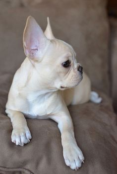 The major breeds of bulldogs are English bulldog, American bulldog, and French bulldog. The bulldog has a broad shoulder which matches with the head. French Bulldog For Sale, White French Bulldogs, Fawn French Bulldog, Cream French Bulldog, White French Bulldog Puppies, Cute Puppies, Cute Dogs, Dogs And Puppies, Spaniel Puppies