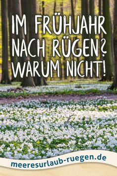 Der Frühling am Meer auf der Insel Rügen ist wunderschön und zugleich erholsam. Einfach mal ausprobieren! Die Natur erwacht, der Strand ist leer, der perfekte Urlaub für alle die Ruhe suchen. #rügen #ostsee #blütenmeer #blütenzauber #frühjahr #frühling #meer #MeeresurlaubRuegen
