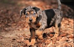 Catahoula pup