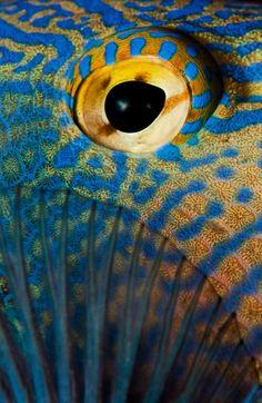 Triggerfish close up