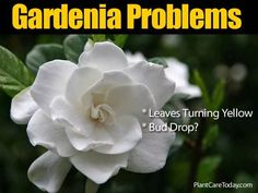 Gardenia pests and problems homeowners may experience and solutions. Some of them include bud drop, yellowing of leaves, sooty mold. [LEARN MORE] Gardenia Care, Gardenia Bush, White Gardenia, Gardenias, Gardenia Indoor, Garden Plants, House Plants, Indoor Plants, Garden Seeds