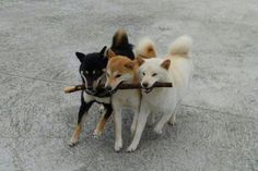 Shibas in all three flavors!
