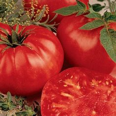 The perfect slicing tomato. These heirloom giants can grow up to 2 pounds each, making them an excellent addition to any meal. Just plant them out in full sunlight and wait for a wonderful harvest!