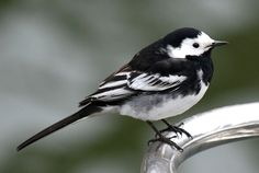 Pied Wagtail, you often see these in car parks and towns, but we've got a pair in our garden