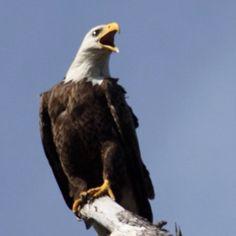 Eagle in Gulf Breeze, FL.