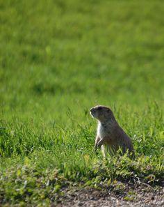 Prairie Dog on the watch at Cactus Flats, South Dakota