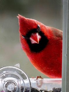Cardinals are said to be messengers from heaven. Pretty Birds, Love Birds, Beautiful Birds, Animals Beautiful, Beautiful Pictures, Animals And Pets, Cute Animals, Cardinal Birds, Bird Wings