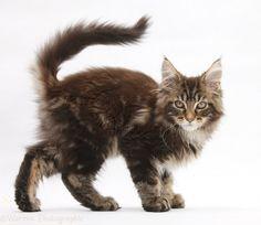Maine Coon kitten photo - WP28385