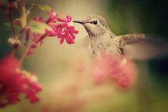 Pink Flower Hummingbird... inspiration..