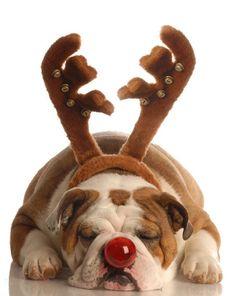 This is for my little boy who always says he wants a bulldog. :o) ....sooooo cute <3