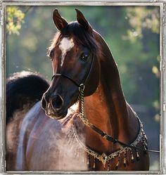 Pimlico RCA  Thee Desperado x *Bint Bint Jamil  Egyptian Event Supreme Champion Stallion