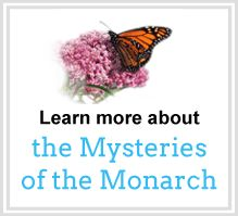 Learn more about the Mysteries of the Monarch