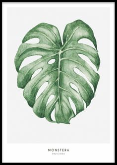 Monstera, poster. Illustration av monstera blad. Botanisk poster med illustration med Monstera, vackert grönt blad på ljusgrå bakgrund. En poster som gör sig fint i ett collage om flera botaniska posters eller som färgklick i en svartvit tavelvägg.