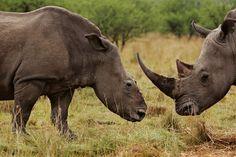 Des rhinocéros pourchassésUn rhinocéros blanc femelle (à gauche) broute avec un mâle devenu son compagnon, dans la province du Kwazulu-Natal (Afrique du Sud). Un gang de braconniers en hélicoptère l'a poursuivie avec son petit de 4 semaines, lui a tiré une flèche tranquillisante et lui a coupé les cornes à la tronçonneuse. Les gardes-chasse l'ont retrouvée une semaine plus tard cherchant son petit, sans doute mort de faim et de soif.