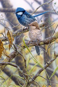 "Retrato ""Splendid Fairy Wrens"", de Christopher Pope. Christopher Pope, es un artista de la fauna australiana, con sede en Adelaide, Australia del Sur."