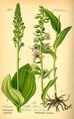 Flora von Deutschland Österreich und der Schweiz (1885) - Listera ovata