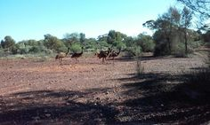 A Family of Australian EMU's around Kalgoorlie WA, decided to go for a morning stroll. Not seeing Sir David Attenborough anywhere in sight, they were least shy of my LG camera - got that one in nicely!