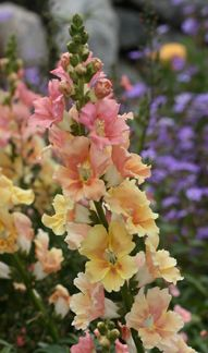 Antirrhinum majus  'Chantilly Peach'  Annie's Annuals.  Annie says to cut them back for a second blooming; I've never done that because they never stop blooming. Mine bloomed from April or May till September here in Northern California.