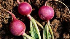 How To Grow Radishes  http://www.rodalesorganiclife.com/garden/radish-growing-guide?cid=soc_Rodale%2527s%2520Organic%2520Life%2520-%2520RodalesOrganicLife_FBPAGE_Rodale%2527s%2520Organic%2520Life__