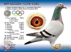 Rik Hermans, Pulle wins 1° National Bourges 24,651 o.b. with his Olympiad pigeon 'Cow Girl'! | PIPA