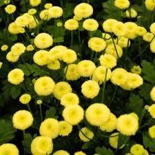 207 best summer flowers images on pinterest summer flowers garden double yellow feverfew mightylinksfo