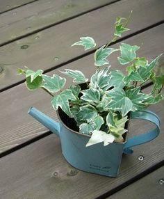 アイビー(ヘデラ) 種類,育て方,花言葉,増やし方/観葉植物図鑑