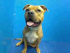 URGENT HIGH KILL SHELTER -PAPA is an adoptable Pit Bull Terrier Dog in Brooklyn, NY.  ...