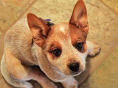 Australian Cattle Dog, Red Heeler pup cuteness