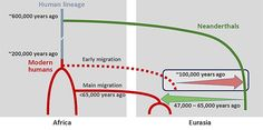 Scenario of interbreeding between modern humans and Neanderthals: Neanderthal DNA in present-day humans outside Africa originates from interbreeding that occurred 47,000 – 65,000 years ago (green arrow). Modern human DNA in Neanderthals is likely a consequence of earlier contact between the two groups roughly 100,000 years ago (red arrow). © Ilan Gronau