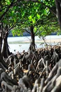 Okinawa mangroves.