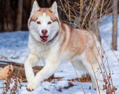 20 Majestic Photos of Siberian Huskies via www.photographyblogger.net