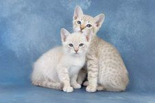 Unusual Cat Breeds